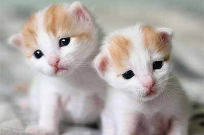 ターキッシュバンの子猫