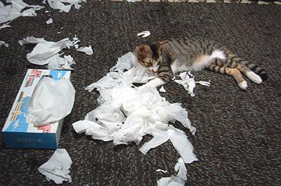 ティッシュをまき散らす猫