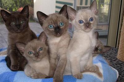トンキニーズの子猫達