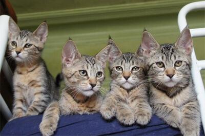 ピクシーボブの子猫達