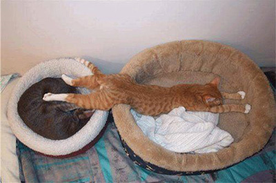 ベッド二つ使って寝る猫