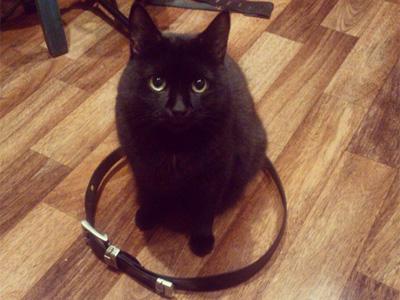 ベルトの猫転送装置に入る猫
