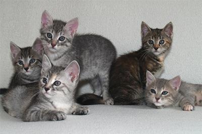 ヨーロピアンショートヘアの子猫達