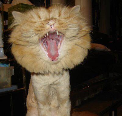 ライオンカットにした猫