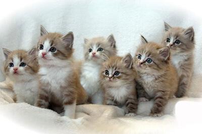 ラガマフィンの子猫達