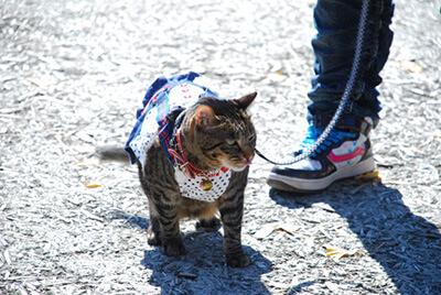 リードを付けて散歩する猫