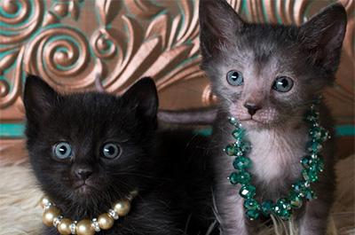 二匹の子猫のリコイ