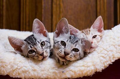 子猫のオシキャット