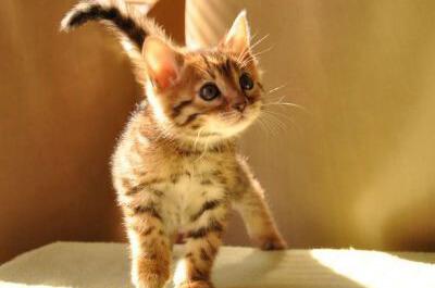 何かを見つめるベンガル猫の子猫