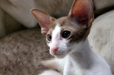 何かを見つめる猫のオリエンタル