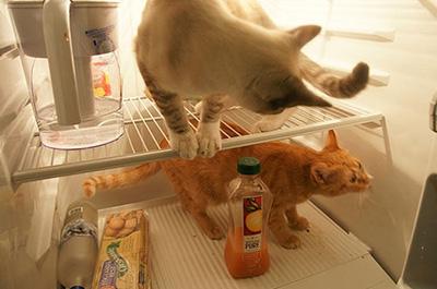 冷蔵庫に入る二匹の猫