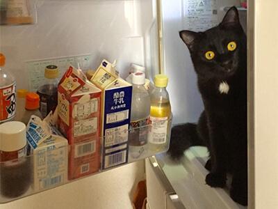 冷蔵庫に入る猫