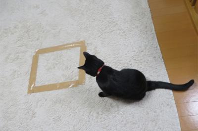 四角形の猫ホイホイを見つめる猫