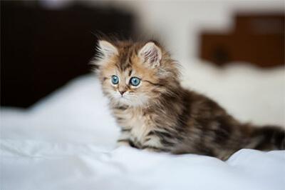 外を見つめるペルシャ猫