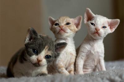 子猫のデボンレックス