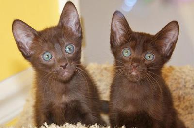 子猫のハバナブラウン