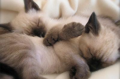 寝ている子猫のバリニーズ