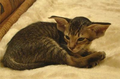 寝起きの猫のオリエンタル