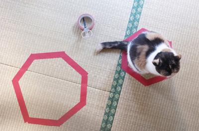 小さい方の猫ホイホイに入る猫