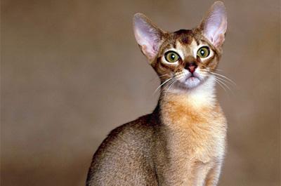 成猫のアビシニアン
