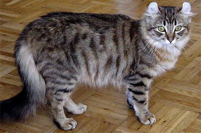 成猫のアメリカンカール