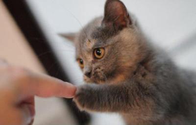指を合わせるロシアンブルー