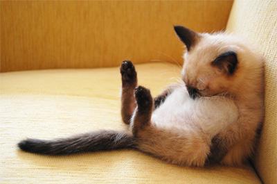 昼寝をするシャム猫