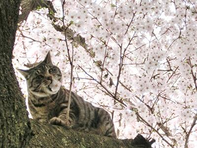 桜の木に登る猫