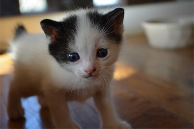 歩き回る子猫のジャパニーズボブテイル