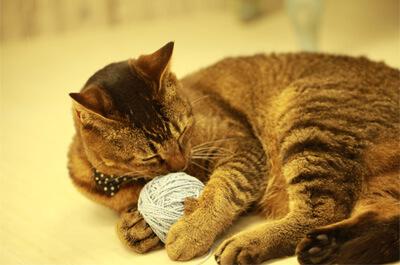 毛糸玉で遊ぶ雑種の飼い猫