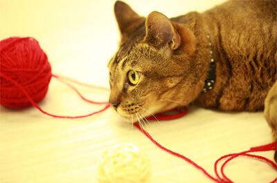 毛糸玉とじゃれている雑種の飼い猫
