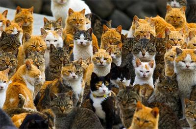 猫島の雑種猫の大群