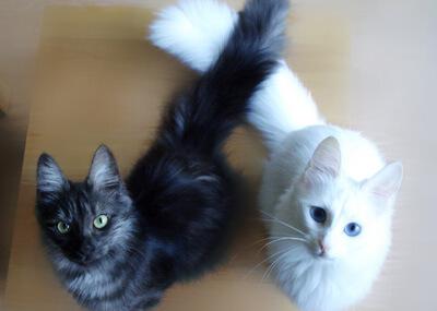 白と黒のターキッシュアンゴラ