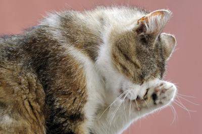 目を掻くように見える猫