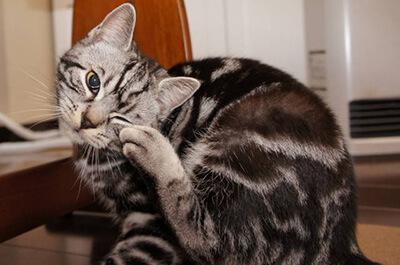 目を掻く猫