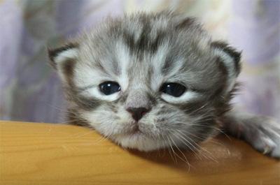 眠そうな子猫のメインクーン