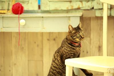 雑種で雌の飼い猫