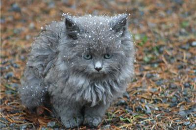 雪に降られたネベロングの子猫