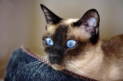 青い瞳のトンキニーズ