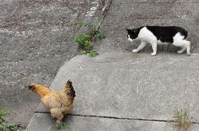 鶏を狙う猫