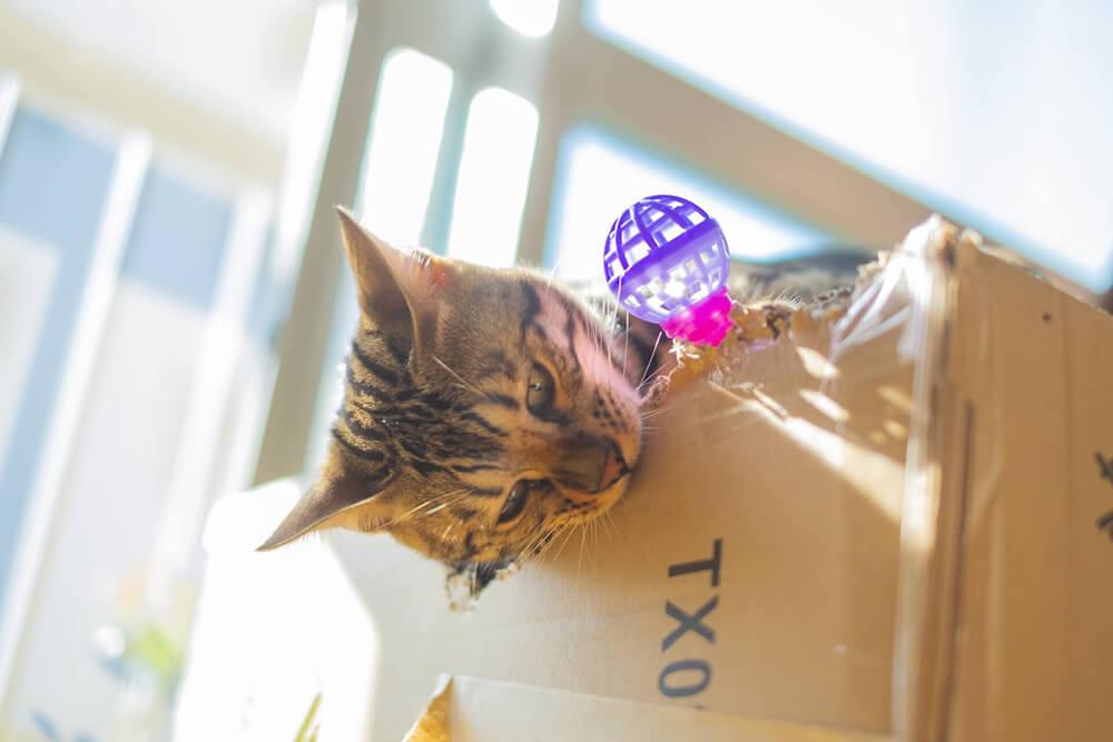 段ボールに噛みつく猫