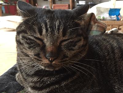 寝ている飼い猫のアン